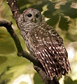 Barred Owlborder=