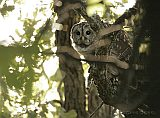 Barred Owl at dusk