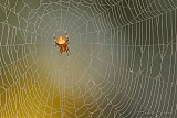 Orbweaver ... waiting