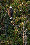 Bald Eagle (adult)
