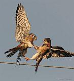 American Kestrels skirmishing