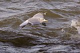Thayer's Gull (adult in basic plumage)