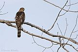 Cooper's Hawk (juvenile female)