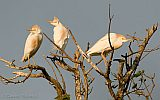 Cattle Egrets at sunset