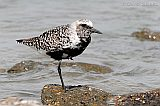 Black-bellied Plover (alternate plumage)