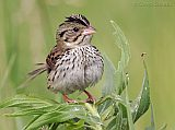 Henslow's Sparrow (adult male)