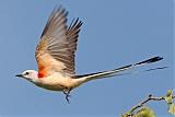 Scissor-tailed Flycatcherborder=