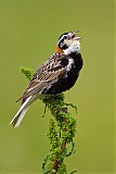 Chestnut-collared Longspurborder=