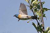 Lazuli Bunting in flight