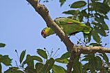 Red-lored Parrotborder=