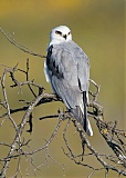 White-tailed Kiteborder=