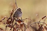 Song Sparrowborder=