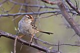 White-crowned Sparrowborder=