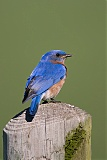 Eastern Bluebird