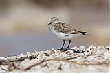 Baird's Sandpiper