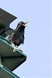 European Starling