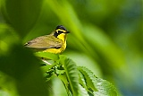 Kentucky Warbler
