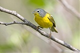 Nashville Warbler