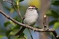 Chipping Sparrowborder=