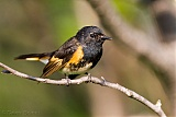 American Redstart (male)