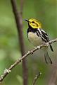 Black-throated Green Warblerborder=