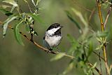 Black-capped Chickadeeborder=