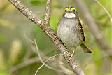 White-throated Sparrowborder=