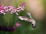 Broad-billed Hummingbirdborder=