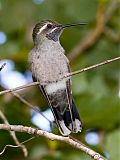 Blue-throated Hummingbirdborder=