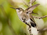 Ruby-throated Hummingbirdborder=