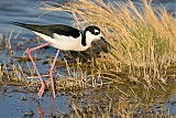 Black-necked Stiltborder=
