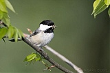 Black-capped Chickadee with food