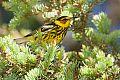 Cape May Warblerborder=