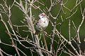 Lark Sparrowborder=