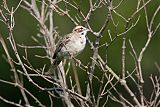 Lark Sparrow