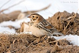 Lapland Longspur