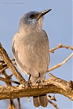 Pinyon Jay