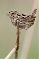 Henslow's Sparrowborder=