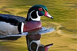 Wood Duck (male)