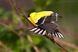 American Goldfinch (male) stretching