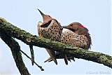 Northern Flickers mating