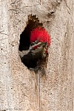 Pileated Woodpecker (male) in nest cavity