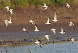 Peep sandpipers in flight
