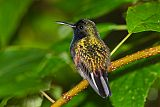 Black-bellied Hummingbirdborder=