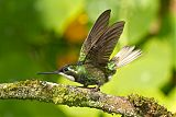 White-throated Mountain-gemborder=