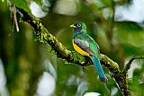 Black-throated Trogonborder=