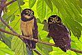 Spectacled Owlborder=
