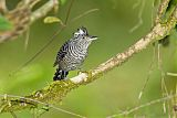 Barred Antshrike