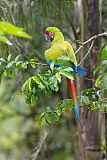 Great Green Macaw