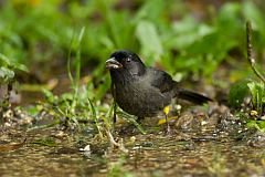 Yellow-thighed Brushfinch